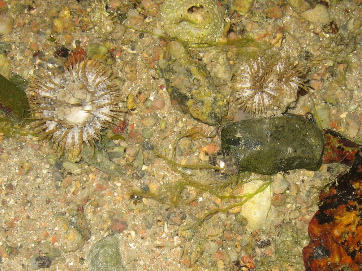 Daisy-sea-anemones.-Ramsar-site-jersey.-Guided-walks-on-the-sea-bed..jpg