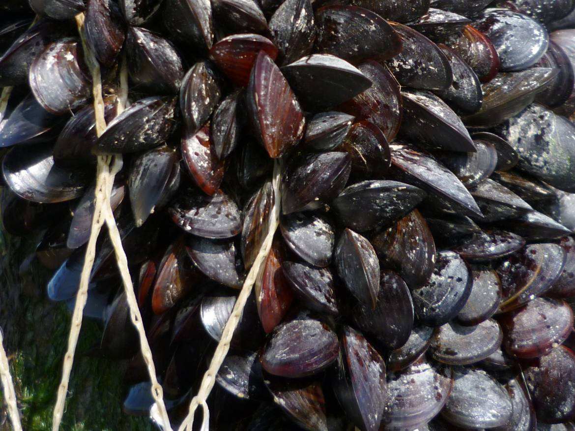 Mussel-farming-in-jersey.-Growing-on-pole-close-up.jpg