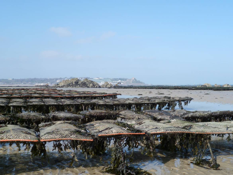 Oyster-beds-Jersey.jpg
