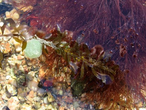 Eggs-if-the-Greenleaf-Worms-anchored-on-rd-seaweed.jpg