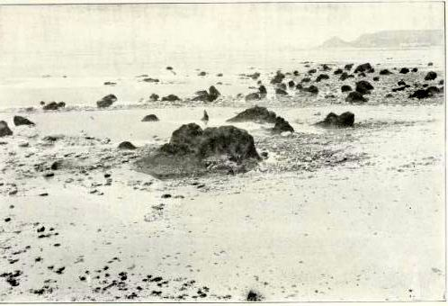 Peat-beds-in-St-Ouen.-in-Sinel-Prehsitoric-times-and-men-of-the-channel-islands-1914.jpg