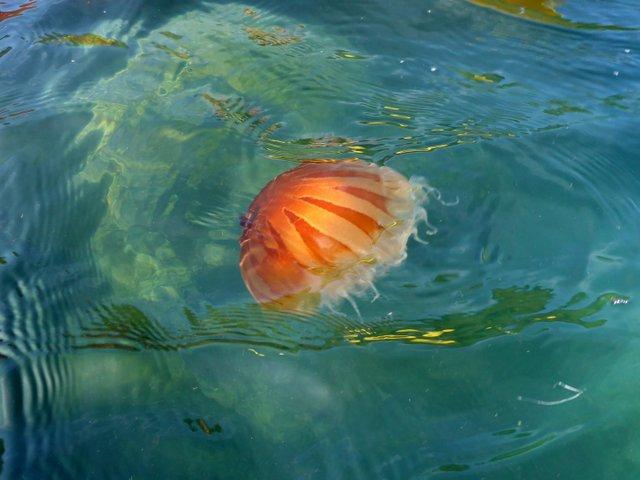 Compass-Jellyfish-in-Jersey-.jpg