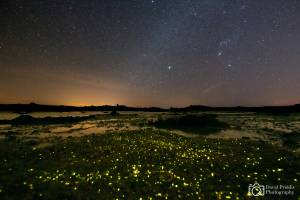 bioluminescent glowing worms in Jersey. Copyright D Priddis.